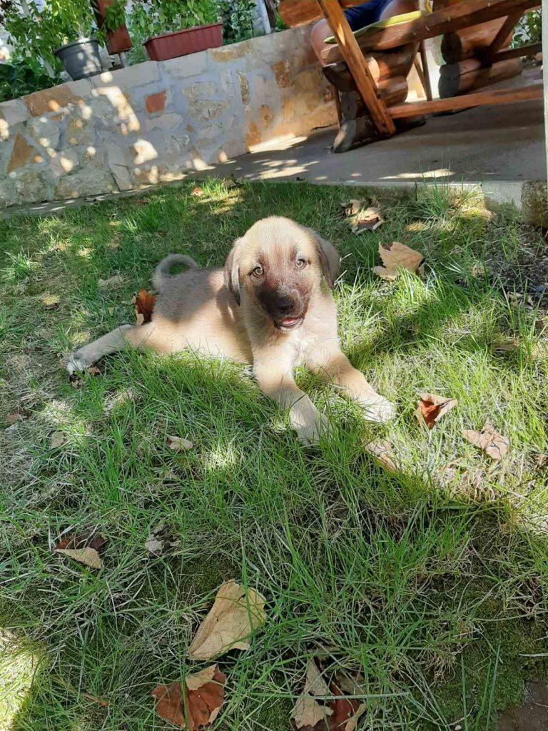 kangalski pas - štene
